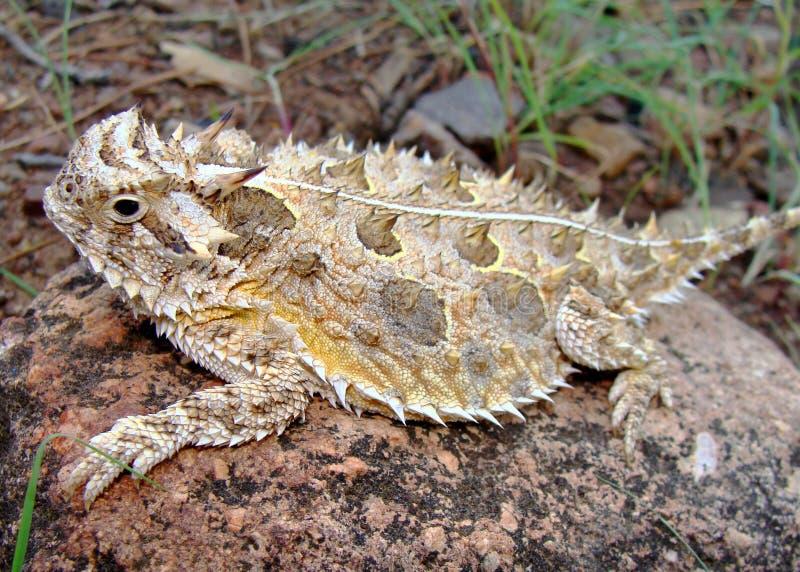 Texas-gehörnte Eidechse oder hornige Kröte stockbild