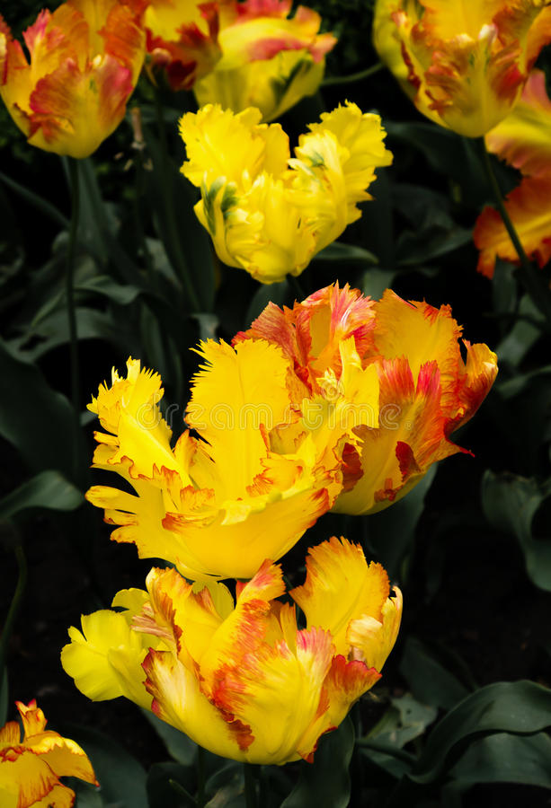 Texas Gold parrot tulips, Tulipa x hybrida, flowers. Close uo. Texas Gold parrot tulips, Tulipa x hybrida, flowers royalty free stock photos