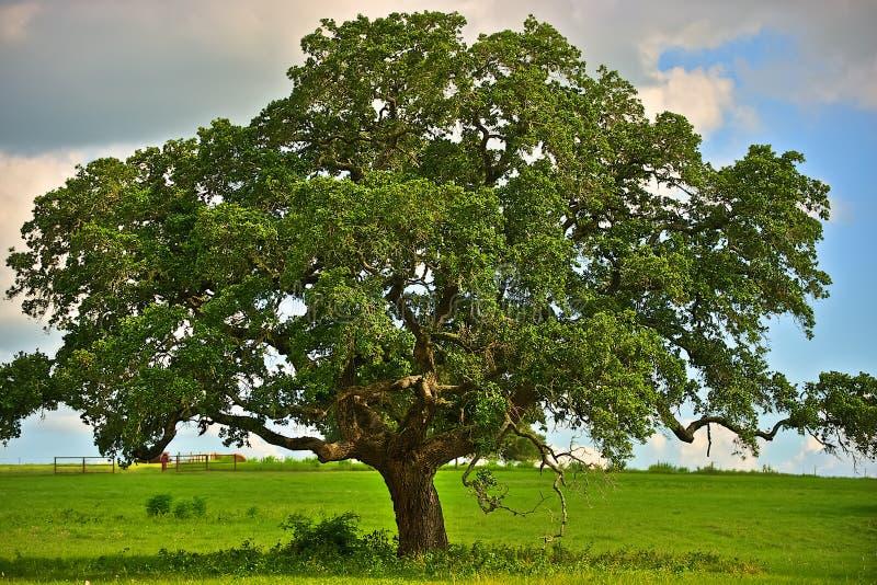Texas Hill Country Oak Tree arkivbild