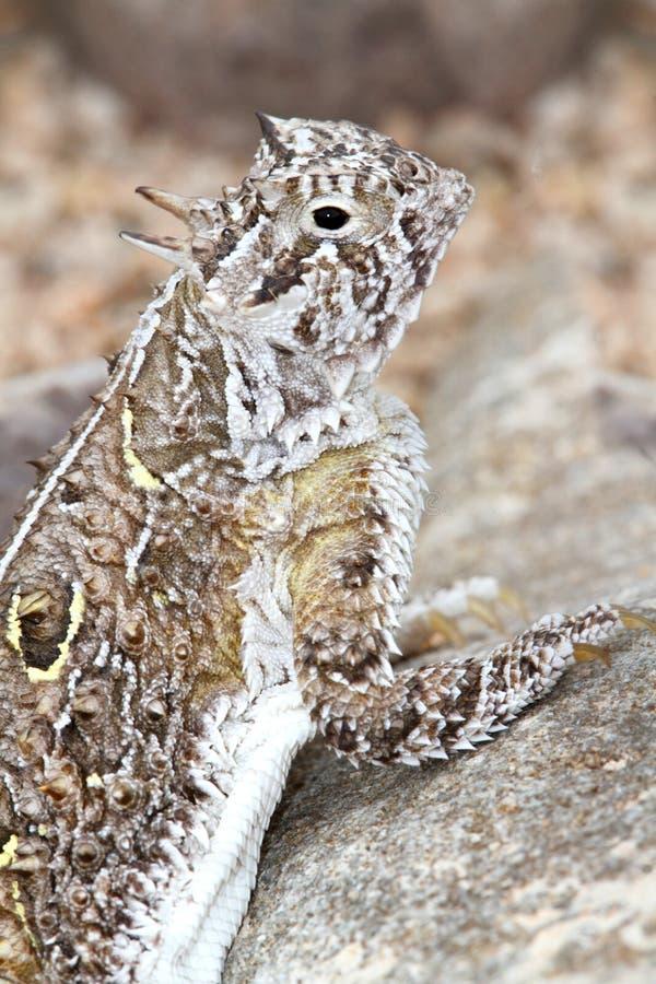 Texas Horned Lizard (cornutum de Phrynosoma) images libres de droits