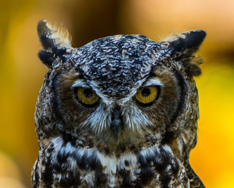 Texas Horned Owl image stock