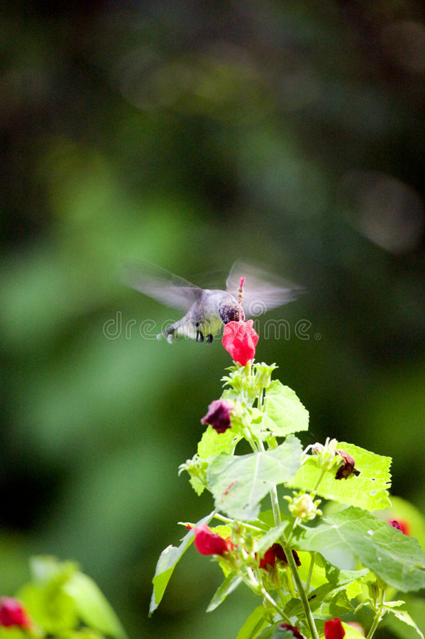 Texas Hummingbird stock image
