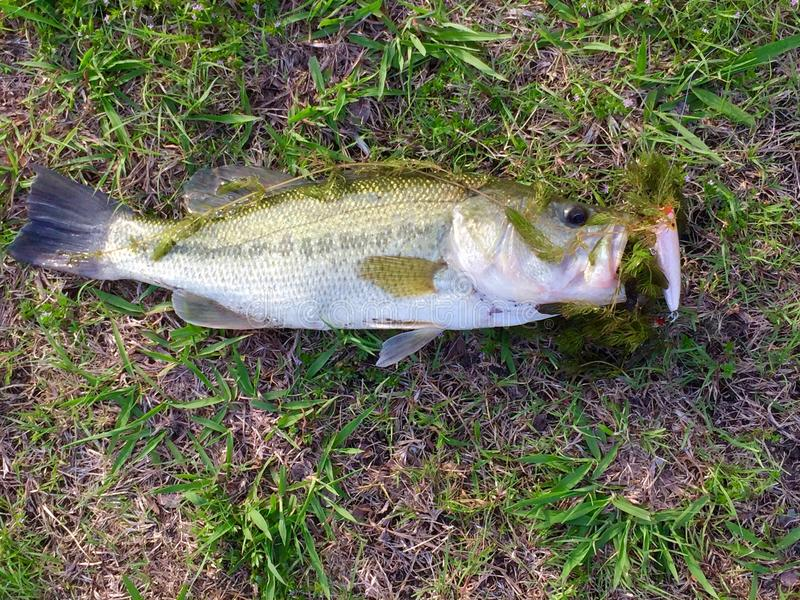 Texas Large Mouth Bass royalty free stock photos