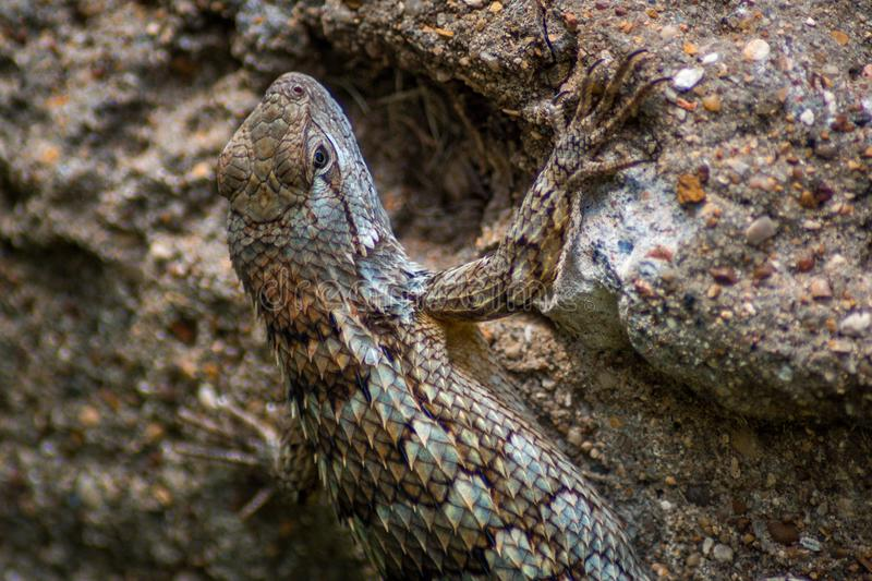 Texas Lizard imagem de stock royalty free