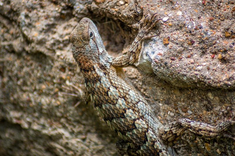 Texas Lizard fotos de stock royalty free