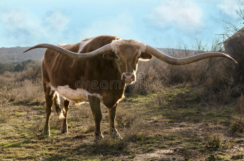 Texas Long Horn. A majestic and noble Long Horn bull stands in a field surrounded by tall grass on his Texas ranch land royalty free stock photography
