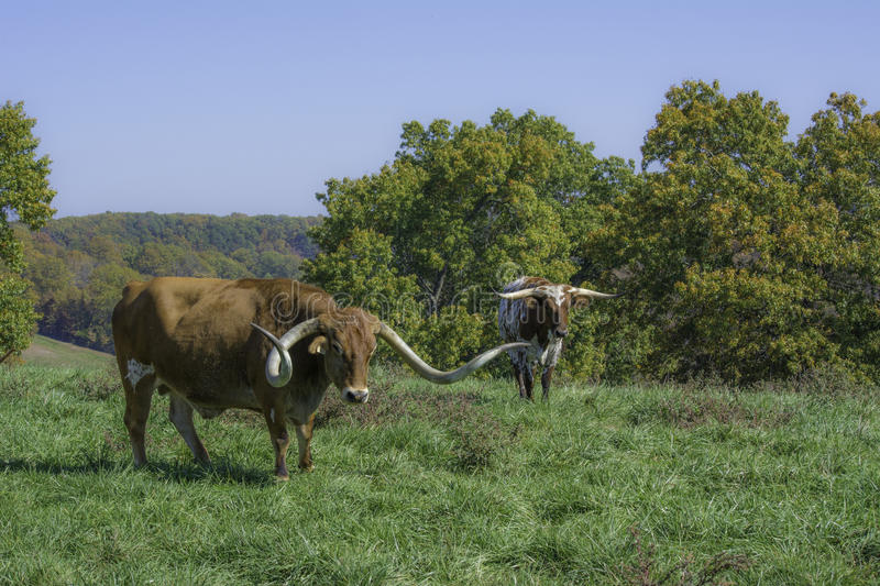 Texas Long Horn Steers. Texas Long Horn bulls standing in green pasture on a sunny day royalty free stock images