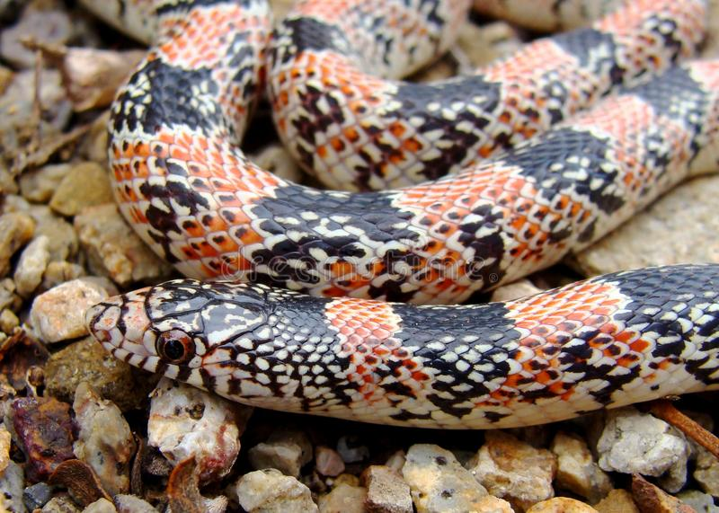 Texas long-nosed snake, Rhinocheilus lecontei. Face of a Texas long-nosed snake, Rhinocheilus lecontei tessellatus, mimic to the Coral Snake in southwestern USA royalty free stock images