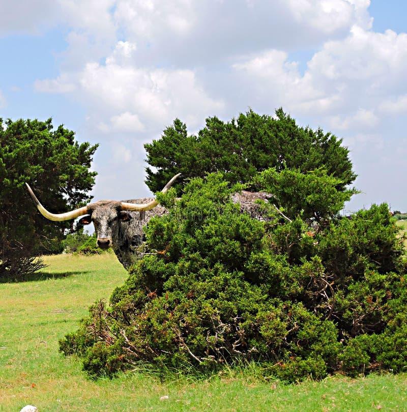 Texas Longhorn lizenzfreie stockbilder
