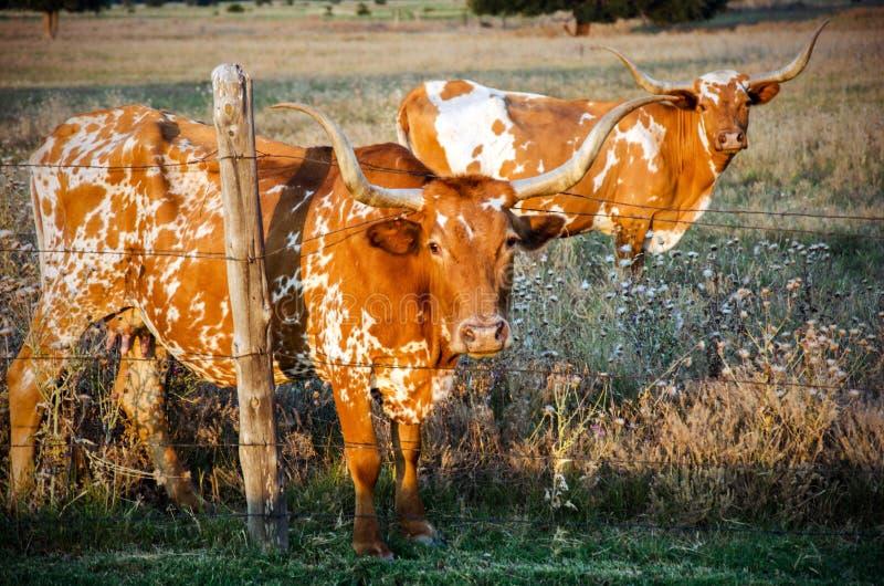 Texas Longhorn Bulls, prikkeldraad, Texas Hill Country stock afbeeldingen