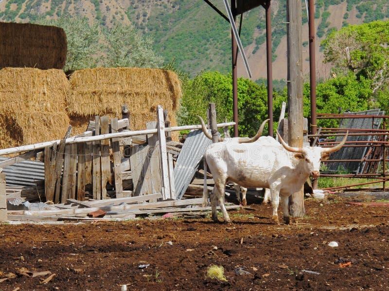 Texas Longhorn Cattle en prado rural de la granja fotografía de archivo