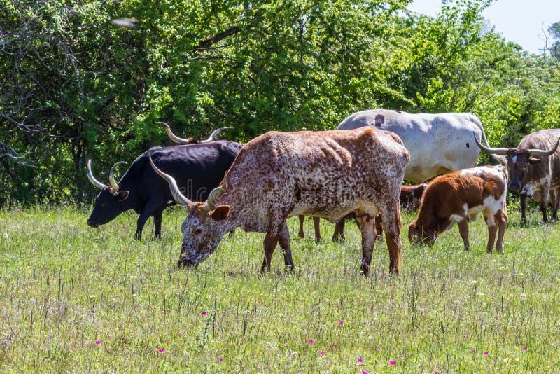 Texas Longhorn Cattle Grazing in einer Weide mit den Wildflowers, die in Texas wachsen. lizenzfreie stockfotografie