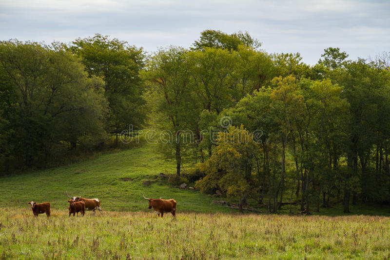 Texas Longhorn Cattle. Herd on a farm in the Midwest stock image