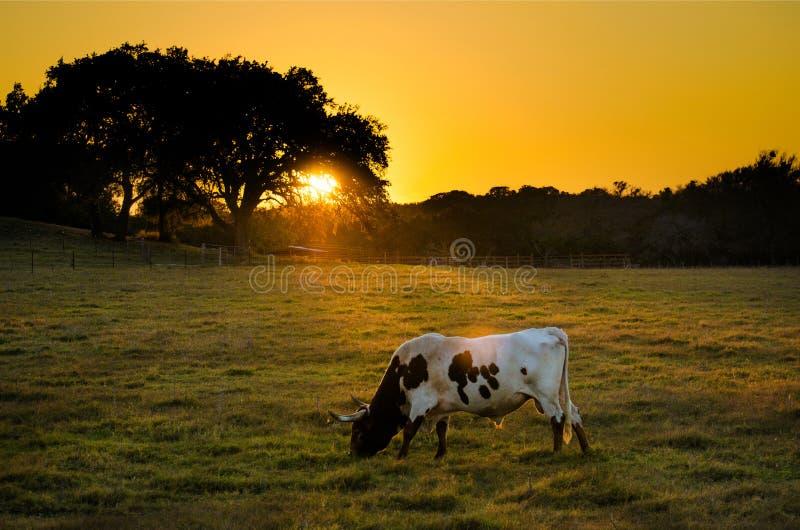Texas Longhorn Cow en la puesta del sol, Texas Hill Country imágenes de archivo libres de regalías