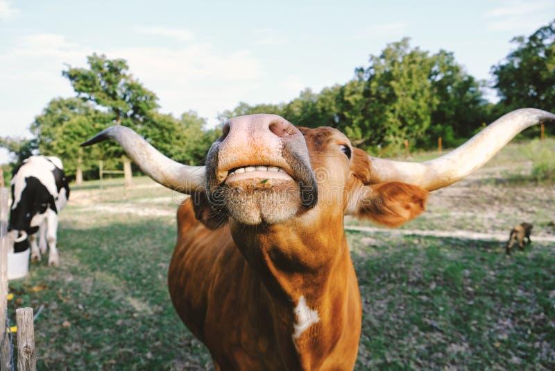 Texas Longhorn divertente fotografia stock