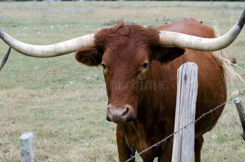 Texas Longhorn, Driftwood Texas. South of Austin, Bevo Hook `em Horns stock photography