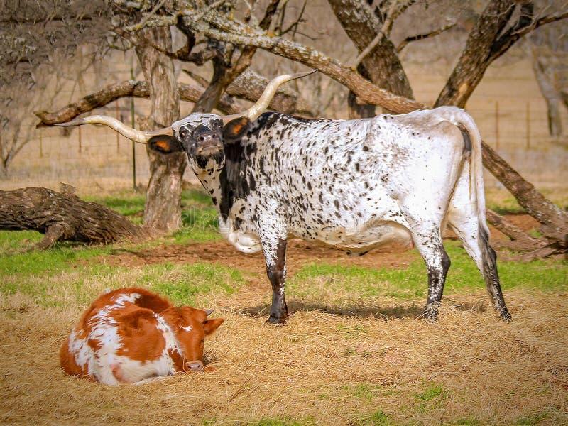 Texas-Longhorn, -mutter und -kalb stockfotos