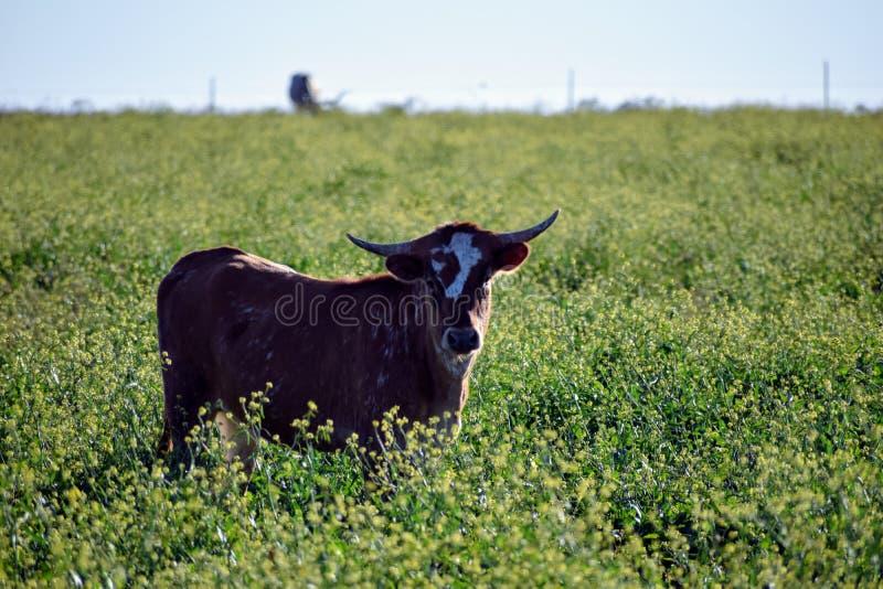 Texas Longhorn Roaming Pasture image stock