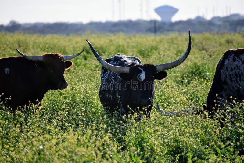 Texas Longhorn Roaming Pasture photos libres de droits