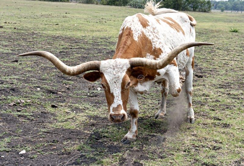 Texas Longhorn Steer Upclose & Threatening stock photos