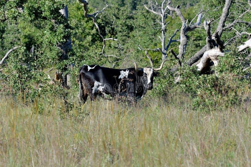 Texas Longhorn Steer at wichita mountains wildlife refuge in Oklahoma stock image