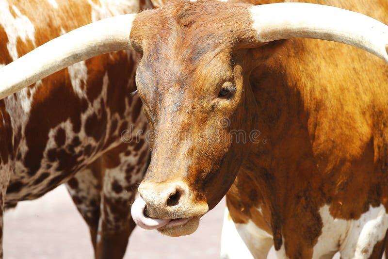 Texas Longhorns royalty-vrije stock fotografie