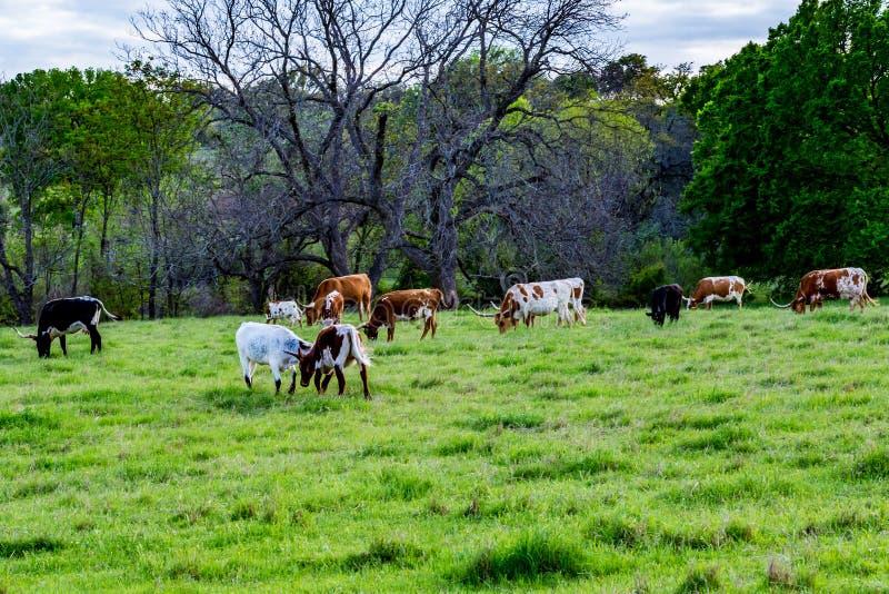 Texas Longhorns lizenzfreies stockbild