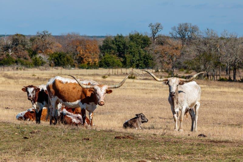 Texas Longhorns e uma vitela imagem de stock