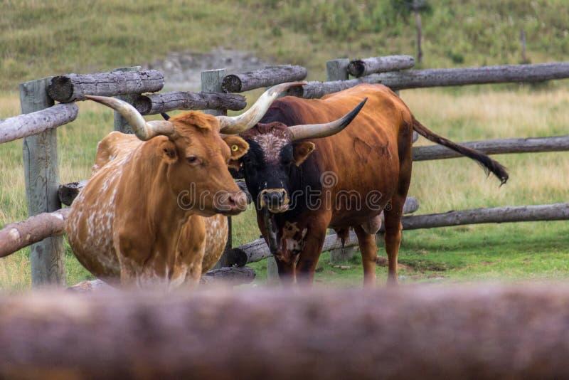 Texas Longhorns em uma exploração agrícola de Canadá foto de stock royalty free