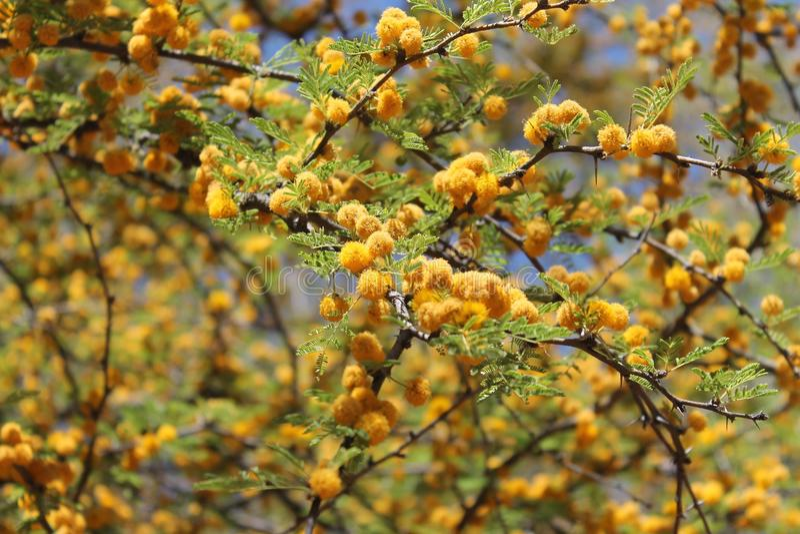Texas Mesquite Tree Flowers amarelo fotos de stock