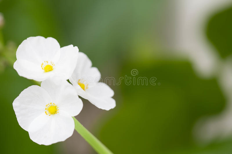Texas mud baby flower. Blossom royalty free stock images