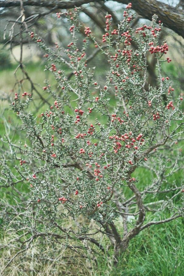 Texas Pencil Cholla Cactus del oeste, leptocaulis de Cylindropuntia con la fruta roja brillante del rasg?n imagen de archivo libre de regalías