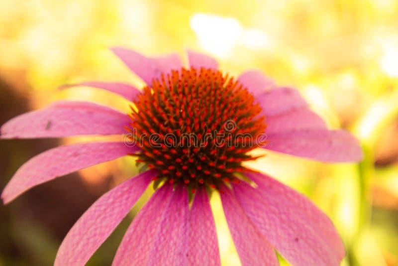 Texas Pink et Wildflowers oranges images libres de droits