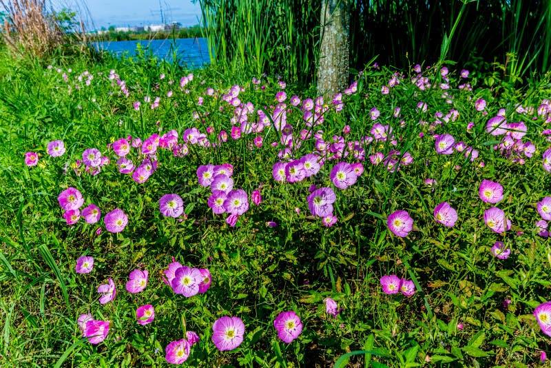 Texas Pink Evening ou Wildflowers voyants d'oenothère biennale (Oenot photos libres de droits