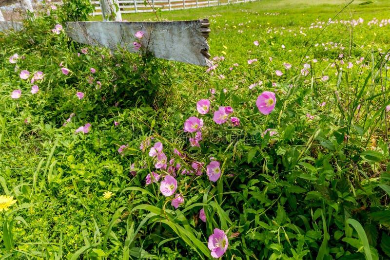 Texas Pink Evening Primrose Wildflowers à la barrière en bois photos stock