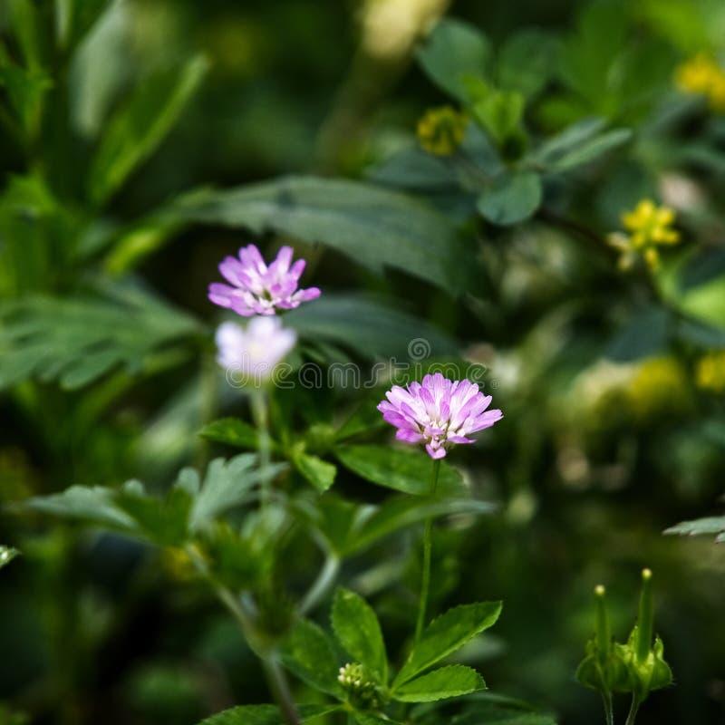 Texas Pink Wild Flower i vår arkivbilder