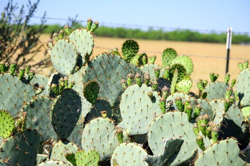 Texas Prickly-Birnenkaktus mit grüner Frucht stockfotos