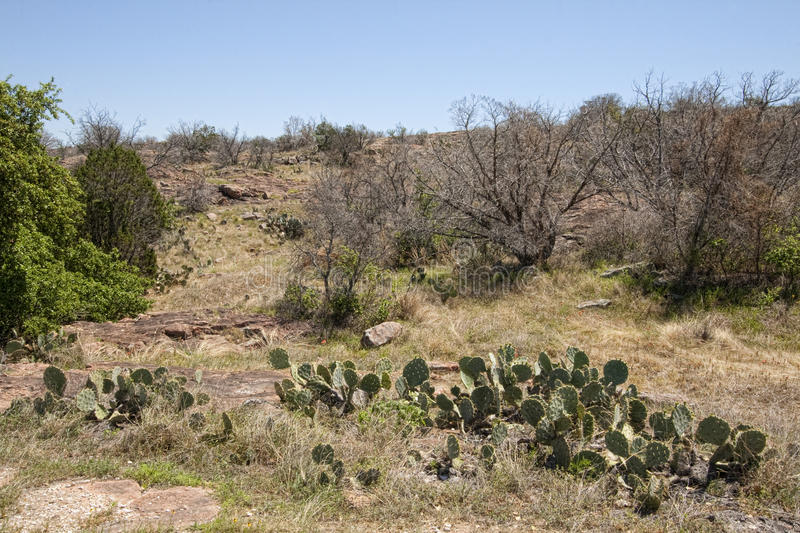 Texas Prickly Pear Cactus Landscape. This is prickly pear cactus, also called nopales, or paddle cactus, and Opuntia littoralis Texas landscape stock photo