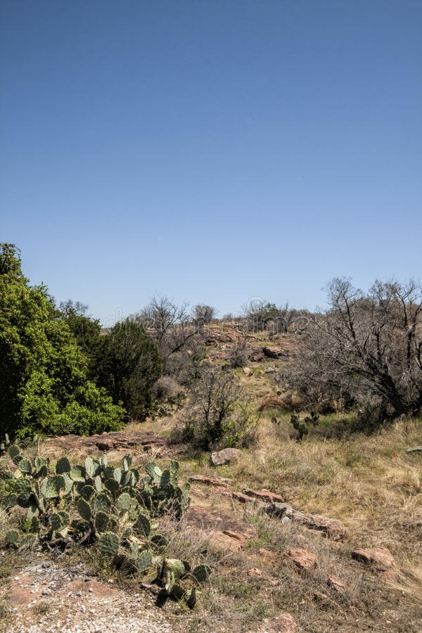 Texas Prickly Pear Cactus Landscape. This is prickly pear cactus, also called nopales, or paddle cactus, and Opuntia littoralis Texas landscape royalty free stock image
