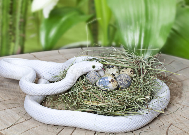 Download Texas Rat Snake In A Bird's Nest Stock Photo - Image: 29252900