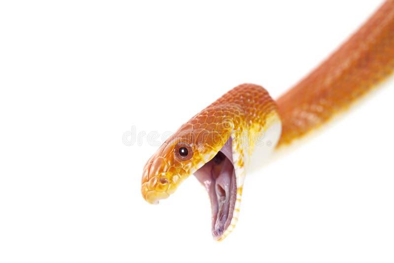 Download Texas rat snake closeup stock image. Image of macro, fear - 29252849