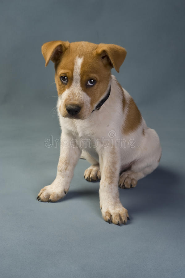 Texas Red Heeler. Pup 11 weeks old royalty free stock photography