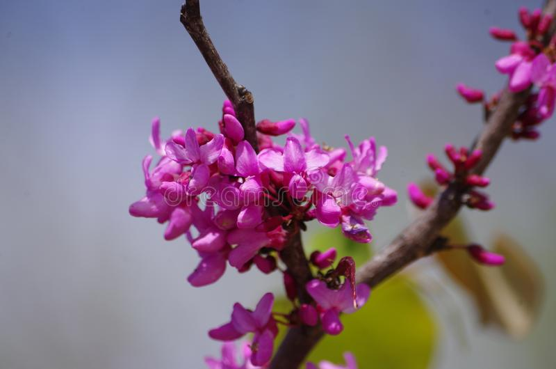 Texas redbud flowers. The Texas redbud tree Cercis canadensis blooms in the spring before the leaves appear and adds bright purple to the landscape royalty free stock photo