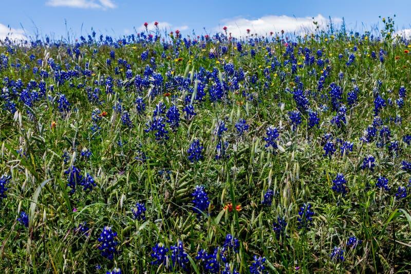 Texas Roadside Full hermoso de Bluebonnets y de algunos Wildflowers de la brocha india. fotos de archivo libres de regalías