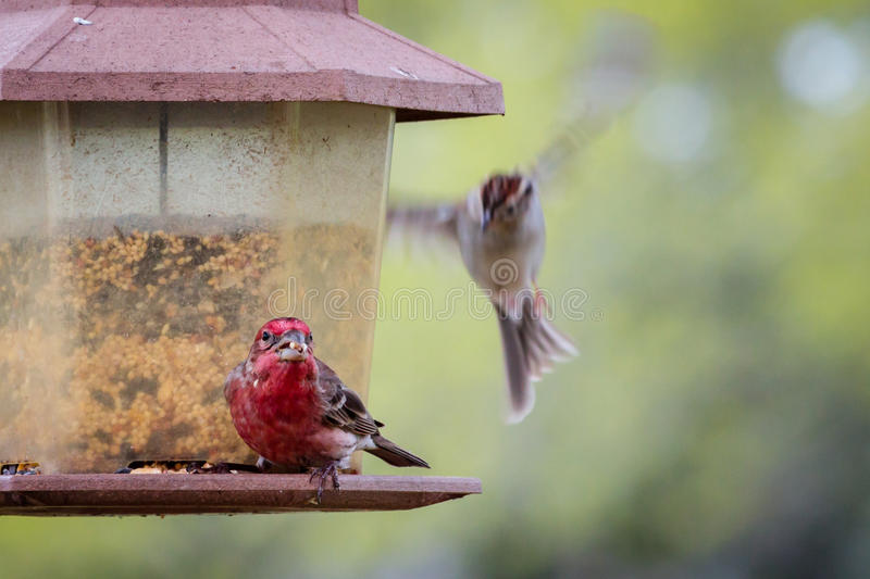 Texas Ruby Red House Finch stockbilder