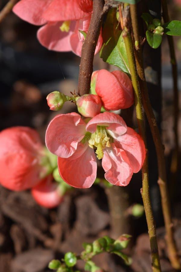 Texas Scarlet Flowering Quince royalty-vrije stock foto's