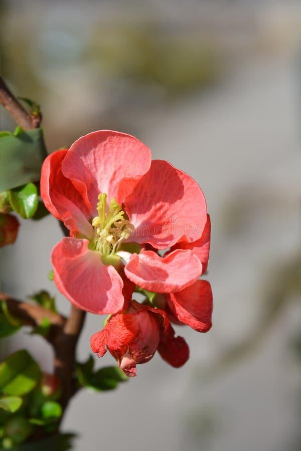 Texas Scarlet Flowering Quince royaltyfri fotografi