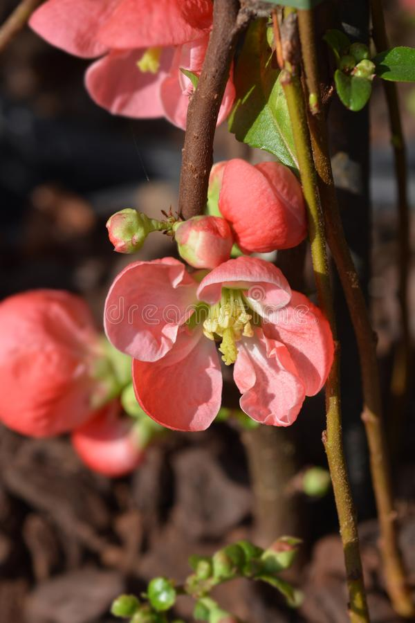 Texas Scarlet Flowering Quince fotografie stock libere da diritti