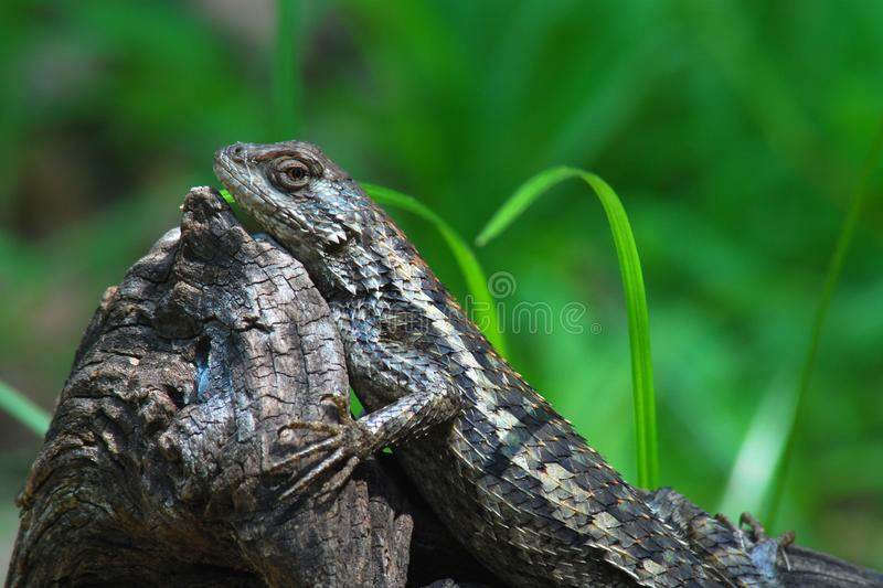 Texas Spiny Lizard on an old log. A Texas Spiny Lizard rests on an old log  against a blurred green background royalty free stock photos