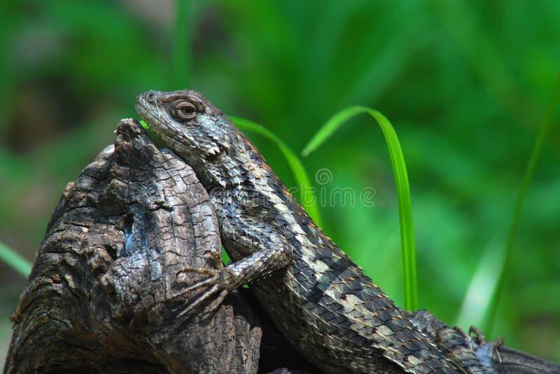 Texas Spiny Lizard på en gammal journal royaltyfria foton